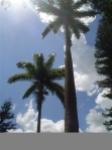 Palmeiras centenárias plantadas no período do Brasil Colônia - Hotel Fazenda Solar das Andorinhas - SP - Brasil