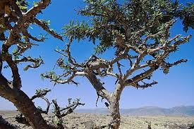 árvores do gênero Boswelli