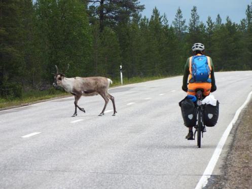 Encontro com cervo selvagem em estrada na Saxônia.