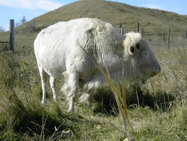 O lendário búfalo branco, animal sagrado dos indígenas norte-americanos