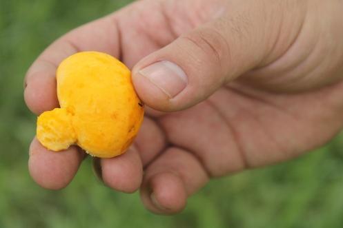 Pequi fruto típico de Caldas Novas - 1