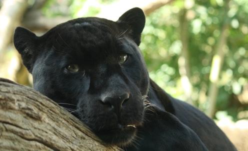 Onça negra Foto pt.wikipedia.org
