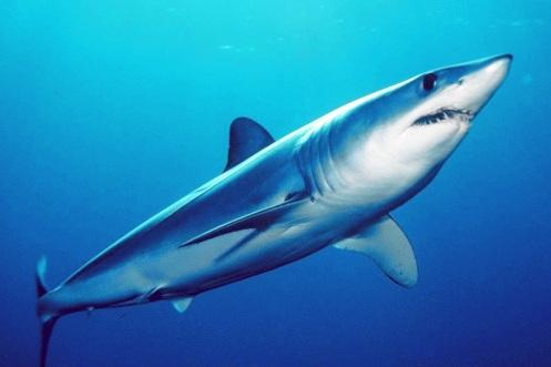 Tubarão Mako