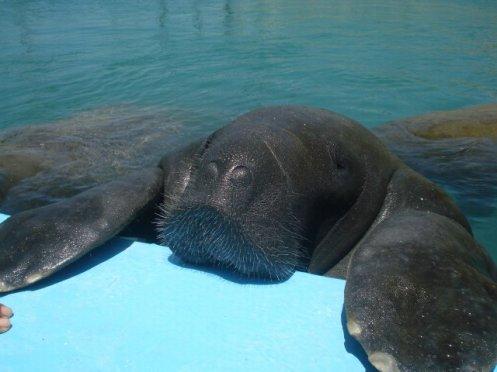 Peixe-boi Netuno em recinto no CMA - Sede na Ilha de Itamaracá (PE) - Foto Fábia Luna