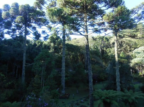 Araucárias em Monte Verde-Turismo-SA.jpg