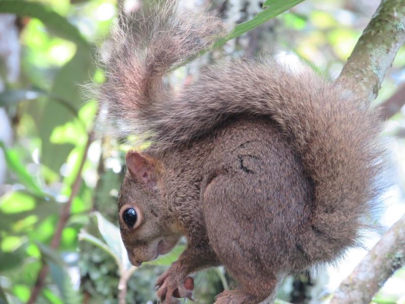 Esquilos podem ser vistos comumente em Monte Verde.jpg
