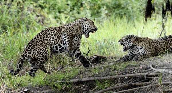 4517_Pantanal_jaguars_JF8.jpg