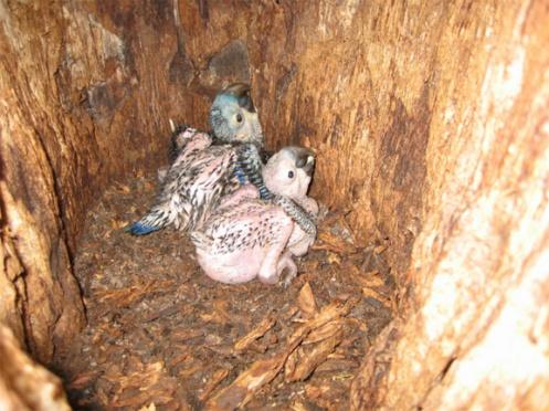araras 1 - filhotes no ninho