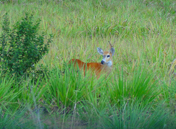 Cervo-do-pantanal_(Blastocerus_dichotomus).jpg