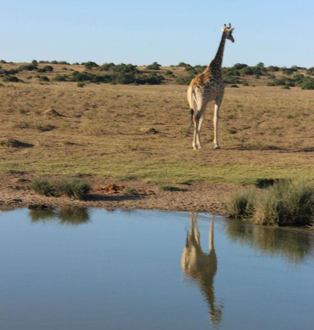 girafa (1)