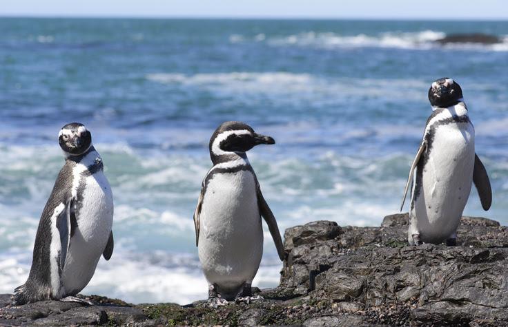 Magellan penguin, Puerto Deseado, Santa Cruz, Patagonia Argentina.