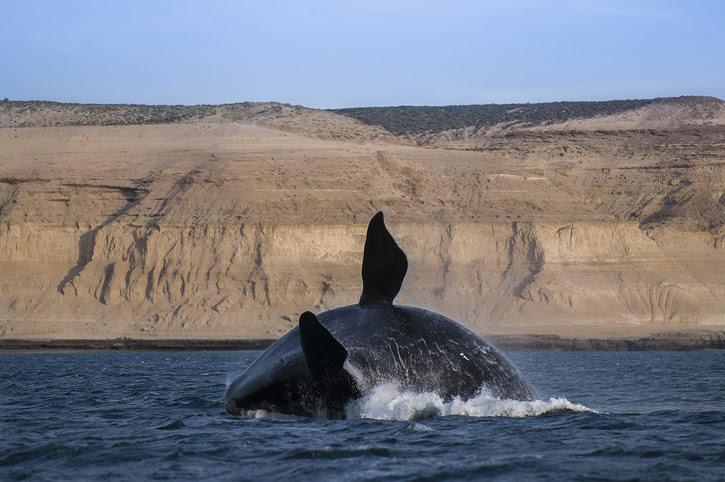 Right whale .Peninsula de Valdes