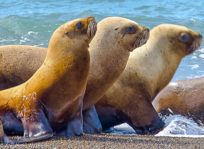 Leões marinhos na Península Valdés – Patagônia Argentina Foto Del Nomade Eco Hotel.jpg