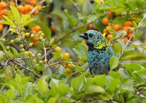 A Saíra Sete Cores vive na Mata Atlântica e e´facilmente encontrada no Litoral Paulista. Adora frutas e pequenos insetos.Foto Júlio Filipino Wikimedia