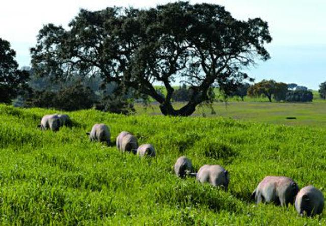 Malhadinha - Porcos