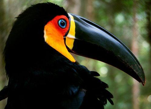 O tucano-de-bico-preto é uma ave típica das florestas da Mata Atlântica.