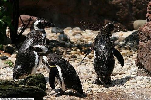 Pinguins-de-Magalhães. Foto de David J. Stang